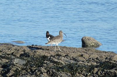 Oyster catcher and curlew Joppa beach